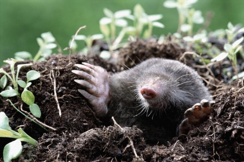 Eleged van a kertedben randalírozó vakondokból? Itt a legjobb vakondriasztó módszer!