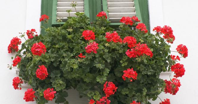 Szomszédasszonyom ezt csepegteti a muskátlira, gyönyörűen virágzik neki folyamatosan!